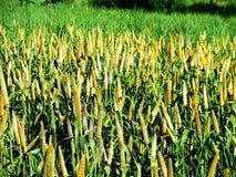пшено урожая Стоковая Фотография RF
