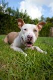 Пыжик и белая собака питбуля Стоковое Фото