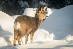Пыжик оленей осла в глубоком снеге Стоковая Фотография
