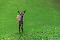 Пыжик оленей стоковая фотография