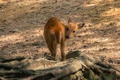 Пыжик оленей Стоковые Изображения RF