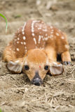Пыжик оленей Whitetail Стоковые Изображения RF
