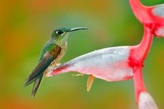 Пыжик-breasted гениальный, rubinoides Heliodoxa, колибри от эквадора Милая птица сидя на красивом красном цветке Heliconia, tr Стоковая Фотография
