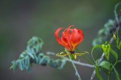 Пылайте полевой цветок лилии в национальном парке Kruger, Южной Африке стоковые фото