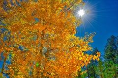 Пылать оранжевая и золотая желтая осина выходит с фоном солнца и неба стоковые изображения rf
