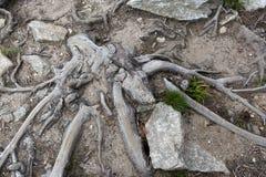 Пылевоздушный путь прокалыванный корнями дерева Стоковые Фото