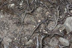 Пылевоздушный путь прокалыванный корнями дерева Стоковая Фотография