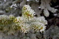 Пыль снега на макросе сосны Стоковое фото RF