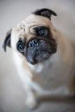 пытливый pug взгляда стоковая фотография rf