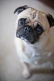 пытливый pug взгляда стоковые фотографии rf