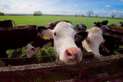 Пытливая корова Стоковое Изображение RF
