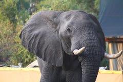 Пытливый слон Bull Стоковая Фотография
