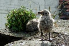 Пытливый цыпленок чайки с ногами твердо на том основании! Стоковая Фотография