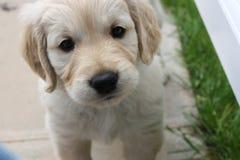 Пытливый щенок золотого retriever Стоковые Изображения