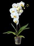 Пышная, белая орхидея Изолировано на черной предпосылке Стоковая Фотография RF