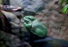 Пышная древесная лягушка, великолепная древесная лягушка, splendida Litoria стоковые фото