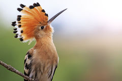 Пышная птица с Точкой доступа челок солнечной Стоковое Фото