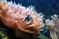 Пышная рыба аквариума спрятанная в чащах коралла Стоковые Изображения