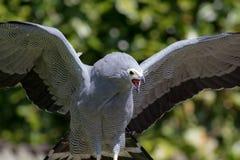 Пышная хищная птица ограничивая заглатывающ малую птицу afoul стоковые изображения rf