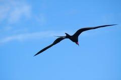 Пышное Frigatebird (magnificens Fregata) Стоковое Фото