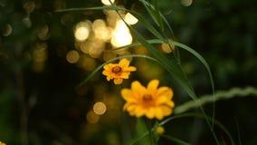 Пышные желтые цветки на фоне захода солнца лета в конце леса вверх по съемке сток-видео