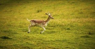 Пышный залежный самец оленя наслаждаясь жизнью Стоковые Изображения RF