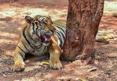Пышный тигр Бенгалии, Таиланд Стоковые Фото