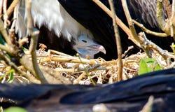 Пышный цыпленок Frigatebird сидя в гнезде стоковая фотография rf