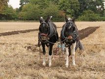 2 пышных тяжелых лошади. Стоковое Фото