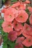 Пылевоздушные оранжевые цветки петуньи Стоковая Фотография