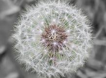 Пыльник одуванчика Стоковые Изображения RF