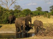 Пыль африканских слонов купая на равнинах Стоковое Фото