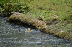 Пятидневные старые гусята принимают к воде Стоковая Фотография