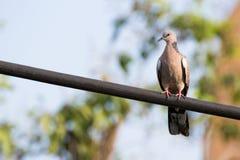 Пятнать-necked голубь Стоковое Изображение RF