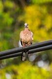 Пятнать-necked голубь Стоковые Изображения RF