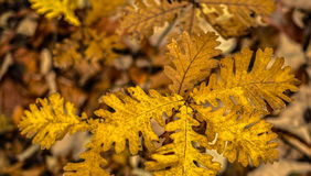 Пятна лист дуба желтые Стоковые Фотографии RF