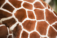 Пятна текстуры жирафа близкие поднимающие вверх Стоковые Изображения RF