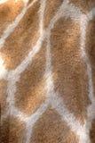 пятна giraffe Африки южные Стоковые Фотографии RF