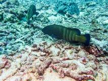 Пятно белизны рыб рифа Стоковое Фото