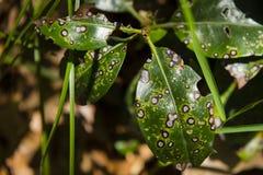Пятно лист Septoria/ржавчина лист Стоковые Изображения