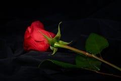пятно светлого красного цвета цветка розовое вниз стоковые фотографии rf