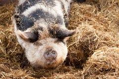пятно свиньи gloucestershire старое Стоковое Фото