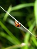 пятно ladybird Стоковая Фотография RF