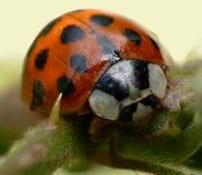пятно ladybird 11 папоротник-орляка Стоковое Фото