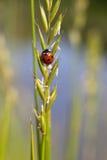 пятно ladybird 7 Стоковая Фотография RF