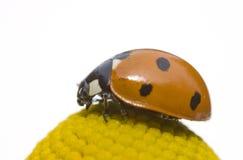 пятно ladybird 7 helenium Стоковые Фото