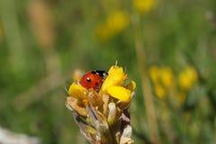 пятно ladybird 7 Стоковые Фото