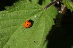 пятно ladybird 7 Стоковое Изображение