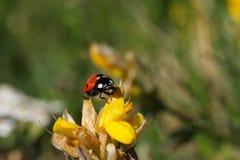 пятно ladybird 7 Стоковые Изображения RF