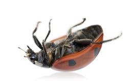 пятно ladybug 7 ladybird Стоковое Изображение